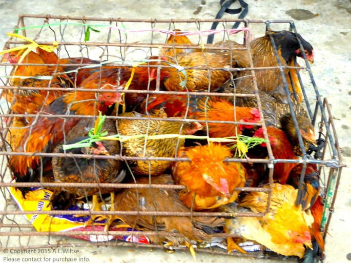 Cage of Chickens-Sapa