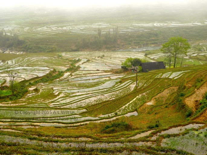 Terrace Rice Fields-Sapa